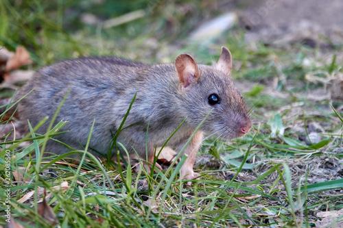 Brown rat (Rattus norvegicus) Canvas Print
