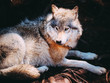 Relaxed Wolf resting