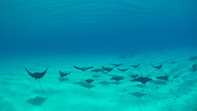 UNDERWATER: Group Of Beautiful Black Stingrays Swim Along The Sandy Ocean Floor.