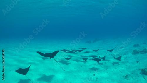 UNDERWATER: Group of beautiful black stingrays swim along the sandy ocean floor.