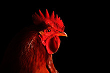Red Rooster On Black Background