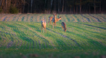Wild Deer Having A Meal On A Green Crop Field At Spring Time. Warm Evening With Golden Sunset Over The Countryside. Peaceful Nature Landscape.