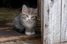 Tabby Kitten Crouches In Barn