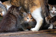Tabby Mother Cat With Kittens