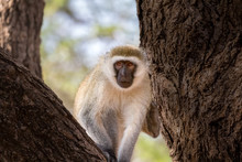 Vervet Monkey Framed By Two Tree Trunks. Facing Camera. Close-up