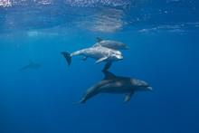 Common Bottlenose Dolphin, Tursiops Truncatus,  Atlantic Bottlenose Dolphin