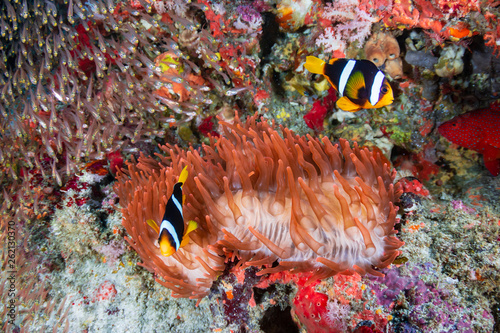 Canvas Print Colorful banded Clownfish on a red anemone on a coral reef