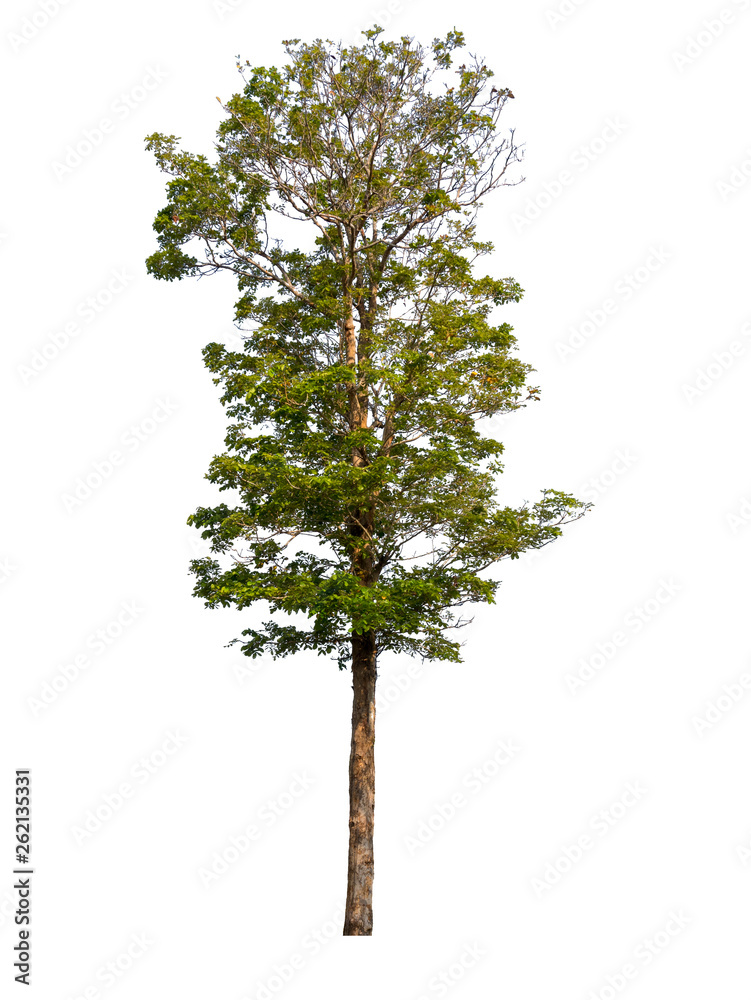 Fototapety, obrazy: Trees isolated on white background with clipping paths for garden design , architectural design , Decoration work , Used with natural articles both on print and website.