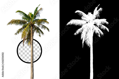 Isolated coconut palm tree on white background with high quality mask alpha channel and clipping path. Suitable for natural articles both on fine print and web page.