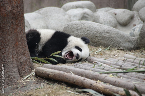 Little Baby Panda Cub is Yawning, Chengdu, china Fototapeta