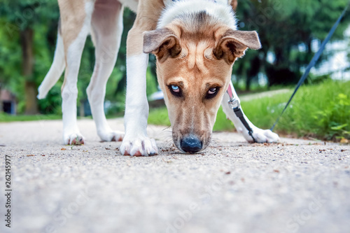 Photo Cute young dog sniffing the sidewalk looking at the camera