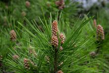 Scots Pine - Pinus Sylvestris In Sochi Dendrarium. Closeup Of Cones.