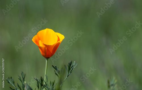 Photo  Poppies