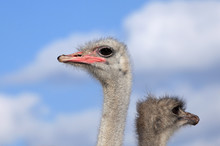 Two Ostrich Heads On A Backgro...