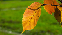 Leaves Of Elm In Autumn Against Sunlight With Bokeh Background, Selective Focus, Shallow DOF