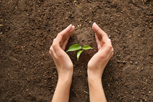 Woman Setting Out Plant In Soil
