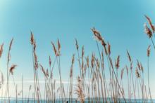 Dry Tall Grass Against A Blue Sky