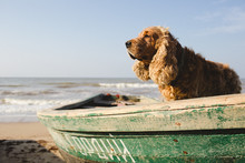 Sea Dog. Cocker Dog In The Boat
