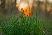Close Up Of Fresh Green Spring Grass Plants With Blurry Nature Landscape With Colorful Background Sunset. Green Juicy Spring Grass On The Background Of The Sunset