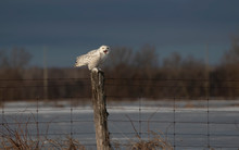 A Female Snowy Owl Perched On ...