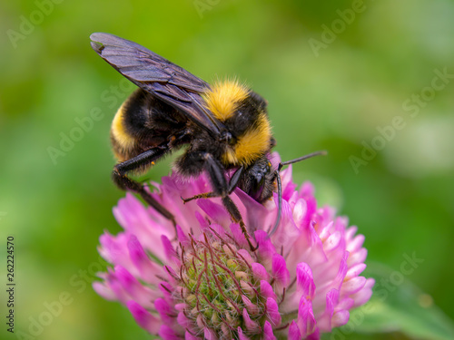 Macro photography of a bumblebee feeding from a red clover flower Fotobehang
