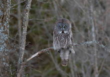 Great Grey Owl Perched In A Tree Hunting At Sunset In Canada