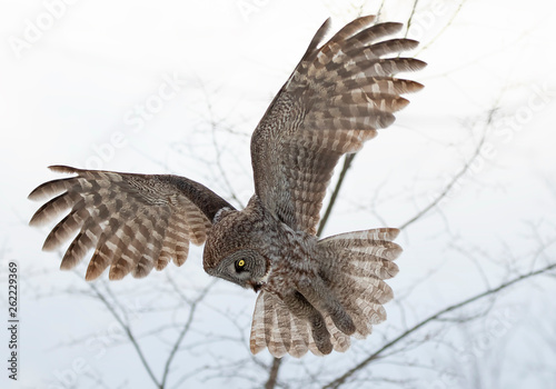 Valokuva  Great grey owl with wings spread out in flight hunting over a snow covered field