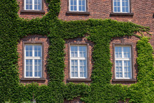 Old Wooden Windows Overgrown By Ivy On House Facade