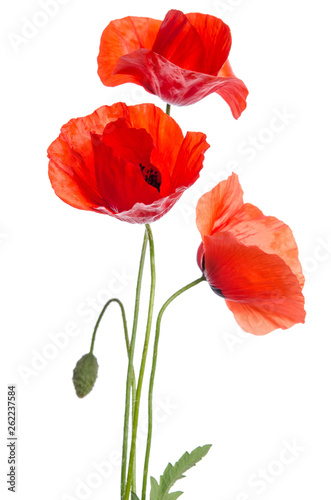 Foto op Canvas Poppy bouquet of red poppies isolated on white background.