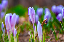 Field Of Spring Flowers At Sunset. Beautiful Unopened Buds Of Blue-violet Color. Selective Focus, Close-up