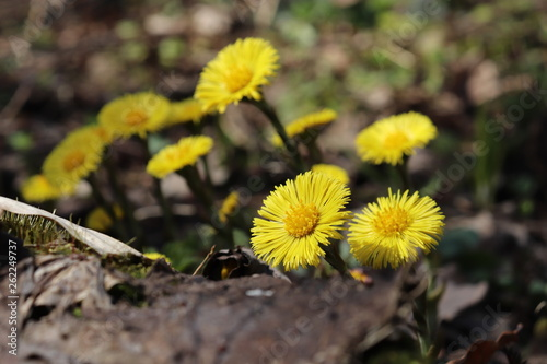 Coltsfoot yellow flowers (tussilago farfara) in a spring forest Fototapet