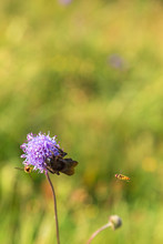 Red-tailed Bumblebee And Marma...