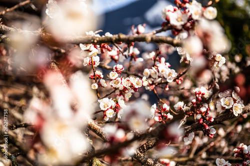 Fotografia  Blüten mit Äste im Frühling