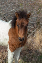 Assateague Island Wild Pony Foal
