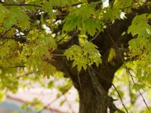 Acer Platanoides - Érable Plane Aux Fleurs Printanières Jaunes Dressées En Corymbes Entre Les Jeunes Feuilles Palmées, Lobes Pointues De Couleur Vert Luisant