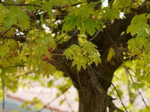 Acer platanoides - Érable plane aux fleurs printanières jaunes dressées en corym Canvas Print