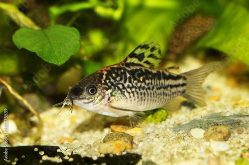 Fotografía  Elegant Corydoras Cory catfish Aquarium fish