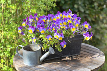 Purple Viola In A Flowerpot On A Garden Table With A Little Watering Can