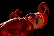 Pink Flamingo Isolated On Black