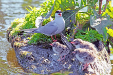 Tern Bird With A Brood Of Small Chicks On The Pond