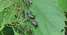 Japanese Beetles Popillia Japo...