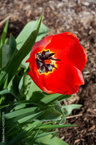 Photo  Red Tulip blooming in garden during spring.