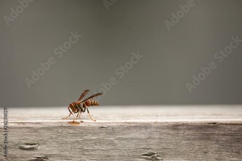 Fotografie, Obraz  Wasp