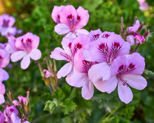 Pink And Violet Colored Pelargonium Flowers Close Up In The Garden
