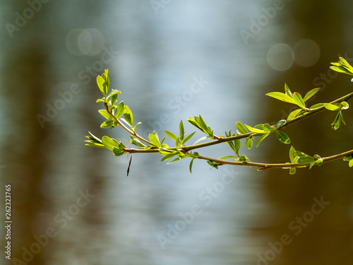 Poster Printemps Catkins and sprouts of a tree in spring on a bokeh background