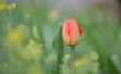 Eine rote Tulpenblüte