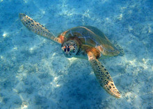 Sea Turtle Swimming Up To The ...