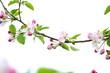 Apfelbaumblüten vor weißen Hintergrund freigestellt