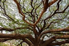 Big Samanea Saman Tree With Branch