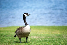 Canada Goose Standing On The Grass